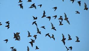 Bats would be caught in midair with kites fitted with fish hooks in the kite's string.