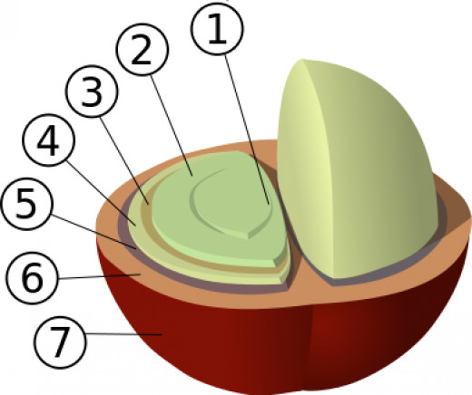 Structure of the coffee cherry pit (not a bean! to be technical about it...)
