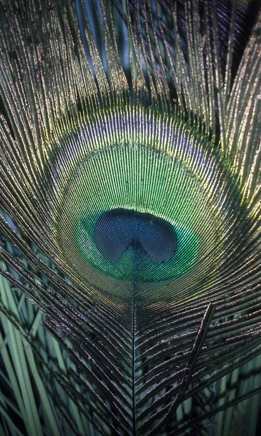 Closeup of the beautiful eye on a Peacock feather.