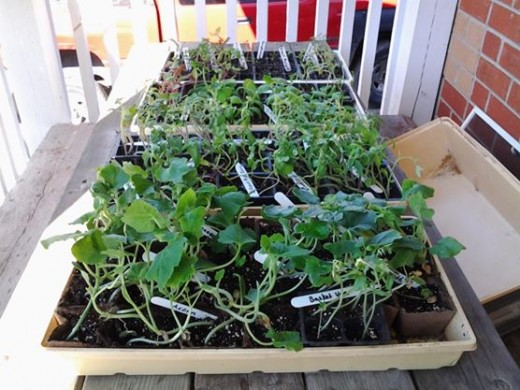 Seedlings becoming hardened off outdoors