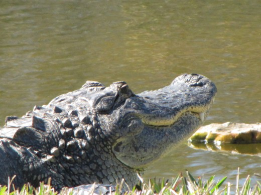 I don't know if alligators have a sense of humor, but this one sure looks like he is smiling.