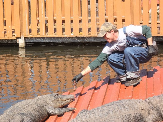 The alligators are fairly sluggish on cooler winter days. This handler is trying to tempt one with some meat. CRAZY...
