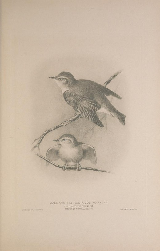 British Warblers H E Howard. 1907. Courtesy of the BHL