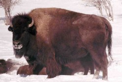 The American Buffalo - A Symbol of the West