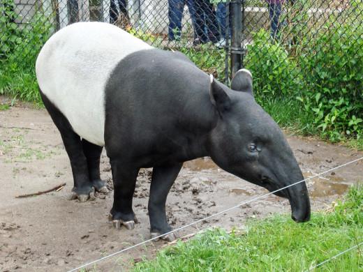 A Malayan tapir at the Toronto Zoo