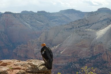 In 2014 a pair of California condors raised a chick in Zion National Park