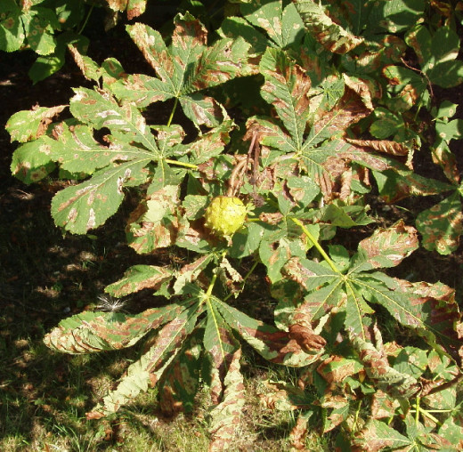 Horese chestnut affected by the leaf miner