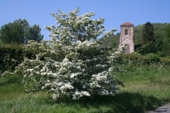 The Magical Hawthorn of May