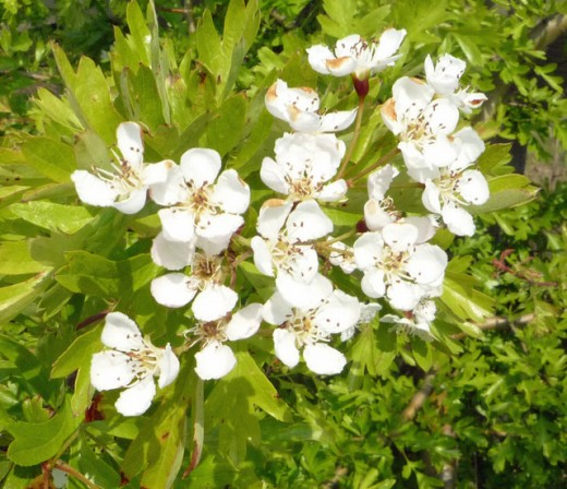 Hawthorn blossoms