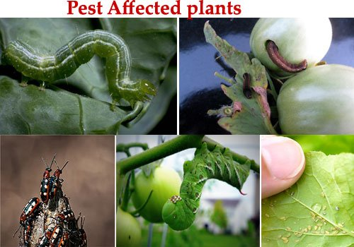 pests and fleas affected plants