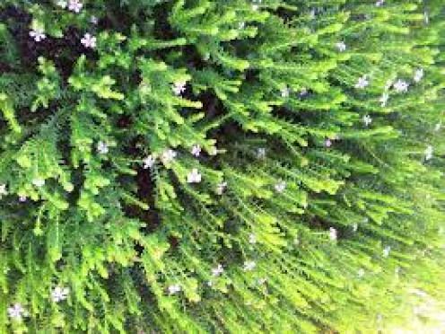 Buchu plant