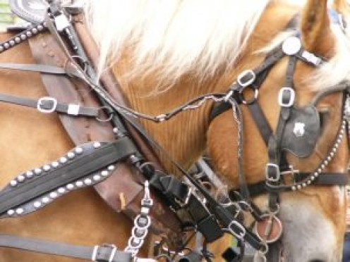 Horse in harness to pull the special carriage for the school children.