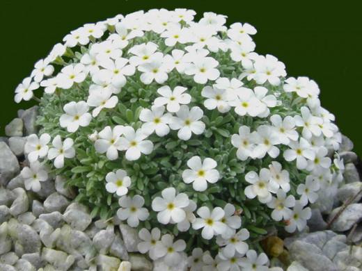 www.fleurs-des-montagnes.net