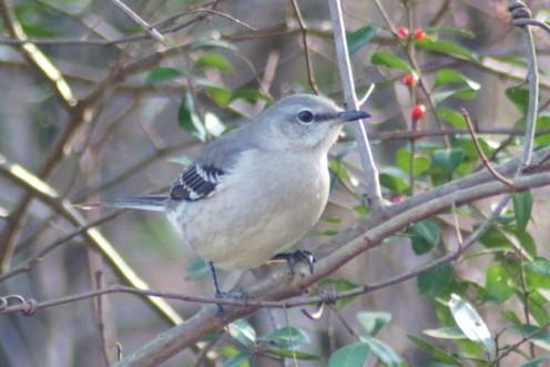 Northern Mockingbird, the mother of the Mockingjay