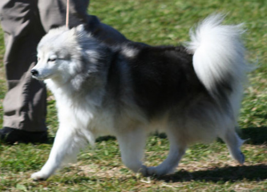 Long haired Siberian Husky that sometimes bring trouble