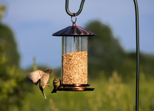 House Finches at a hanging Feeder