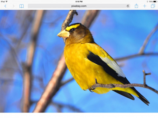 The Evening Grosbeak is a beautiful winter visitor that mainly frequents areas of the Northeastern States. This bird resembles a summer Goldfinch, but is much larger in stature.