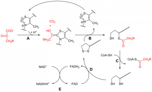 Reactions A and B are catalyzed by Pyruvate Dehydrogenase (E1). Reaction C is catalyzed by Dihydrolipoyo Transacetylase (E2). While, reactions D and E are catalyzed by Dihydrolipoyl dehydrogenase (E3). This is also called substrate channeling.