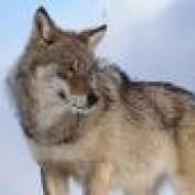 wolfneyetna profile image