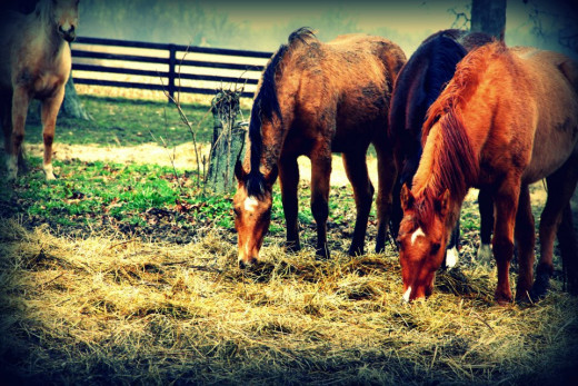 Strong, hardy and very messy Quarter horses love being in a herd.