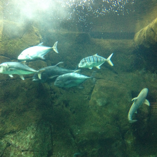 A School of  Bluefin Trevally.