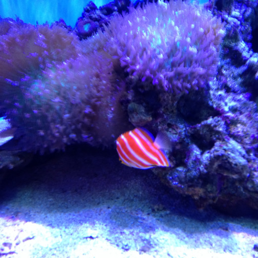 The Peppermint Fish