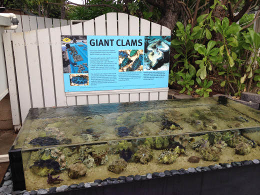Giant Clam display