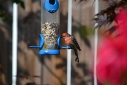 A House Finch at one of my bird feeders.