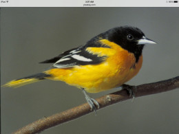 The Male Baltimore Oriole is a bird that is not considered to be a winter visitor here on Long Island, or further north for example.  However it is considered a summer migrant and visitor during the warmer summer months.