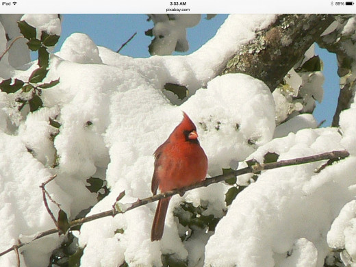 The Male northern Cardinal can brighten up any winter background on even the coldest of winter days.