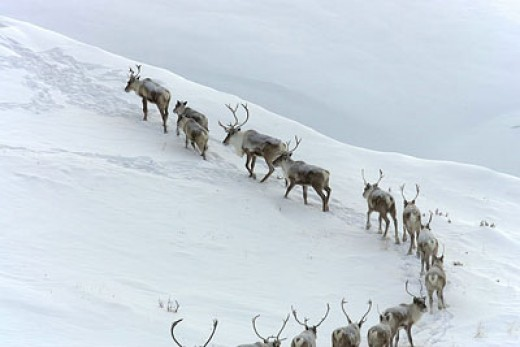 Caribou migrating in ANWR