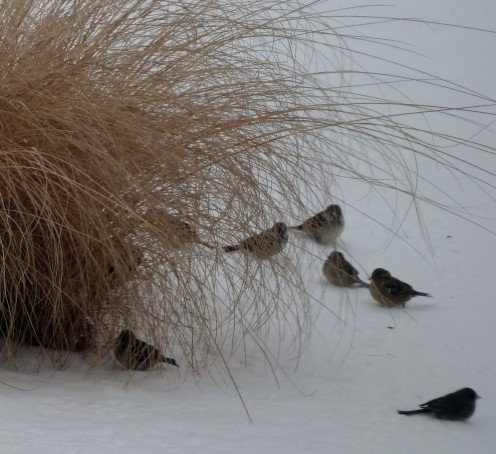 A small group of Sparrows and a Junco