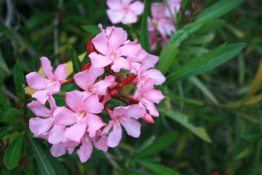 This beautiful Oleander right here is plotting to kill you.