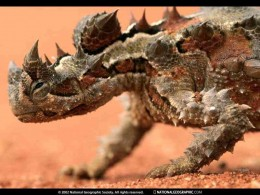 Courtesy  http://photography.nationalgeographic.com/photography/enlarge/thorny-devil_pod_image.html