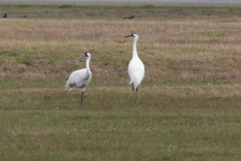 Two Whooping Cranes in a field.