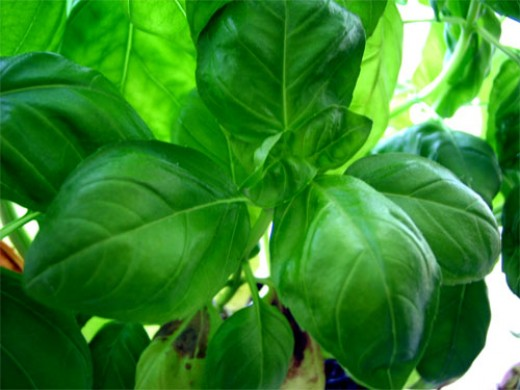 Whole basil leaves can be used to attract money into your life.