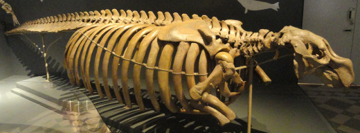 Steller's sea cow skeleton