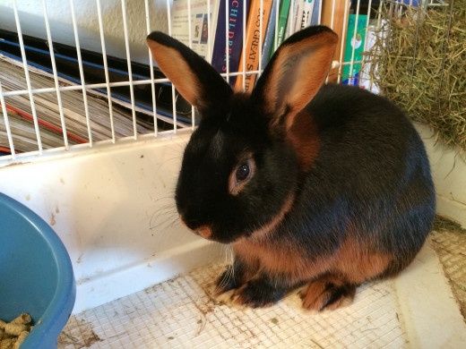 Rabbit adopted by my sister a few weeks ago, castrated, born May 2014.