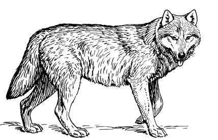 wolf ancestry (free clip art)