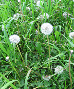 Dandelions are rich in potassium, iron, calcium, magnesium, zinc, and phosphorus, which will get leached into the weed tea as they soak.