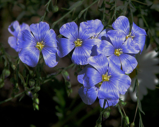 The 5 petaled blue flower on airy branching stems livens up every garden.