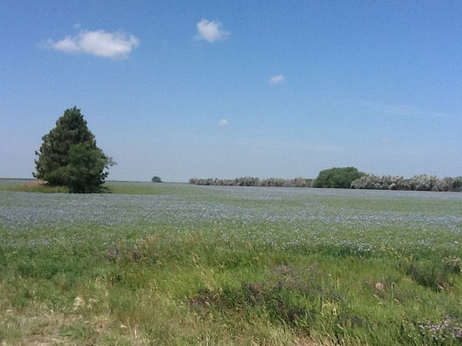 An American field of Flax in full bloom. Who wouldn't want this in their back yard?
