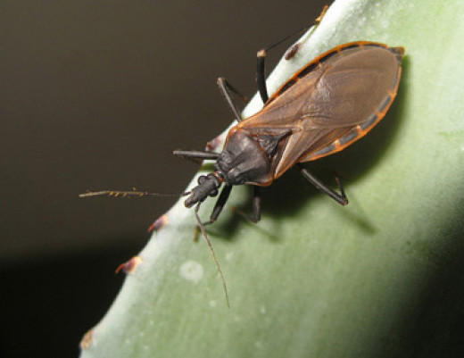 Type of assassin bug (Triatoma rubida)