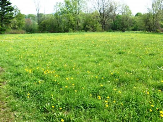 Dandelion filled meadow.