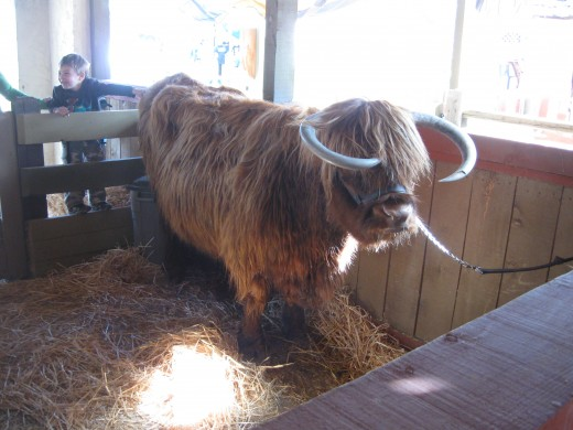 Shaggy - a Scottish Highland Cow