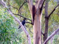 A black cockatoo, once endangered (c) A. Harrison