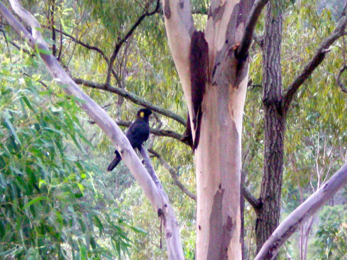 A black cockatoo, once endangered (c) A. Harrison