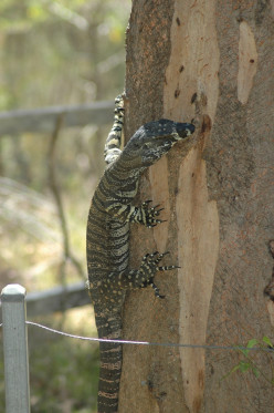 A visitor to the garden - this goanna is a good 5 feet in length (c) A. Harrison