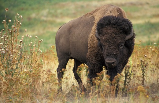 The American Bison from which we get bison meat is commonly referred to as the buffalo.
