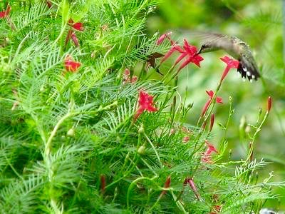 Annual cypress vine is a member of the morning glory family. The lovely red flowers are filled with nectar.